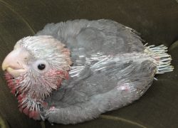 A very very young galah