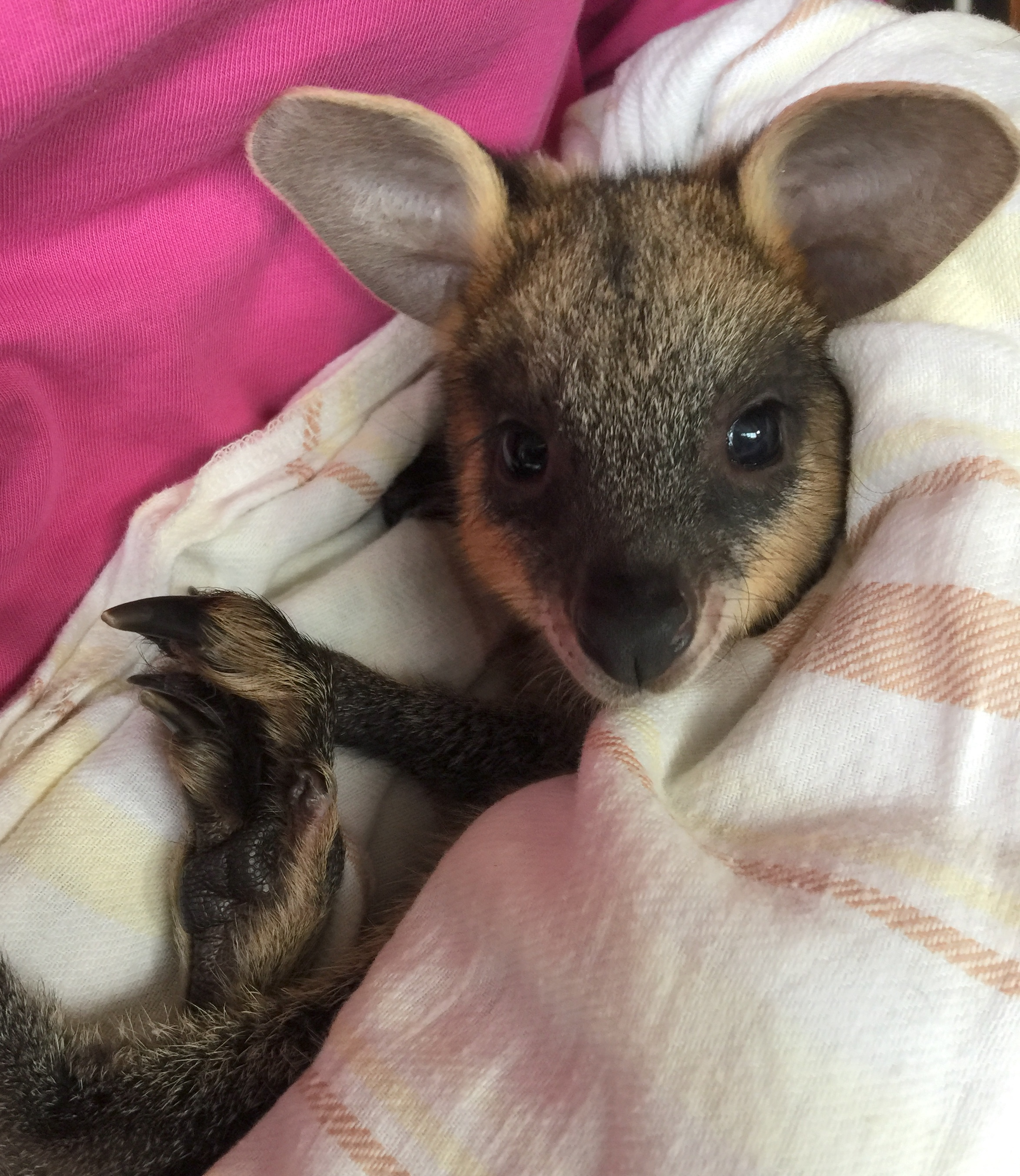 Pommie Swamp Wallaby