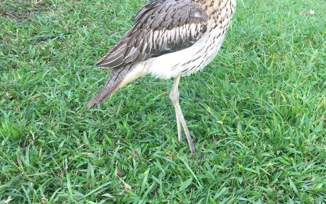 Simone, aka Gertie, the Bush Stone-curlew is home